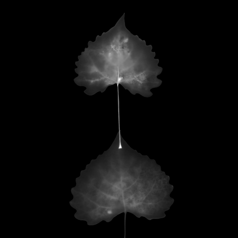 Remains.Aspen Leaves.2