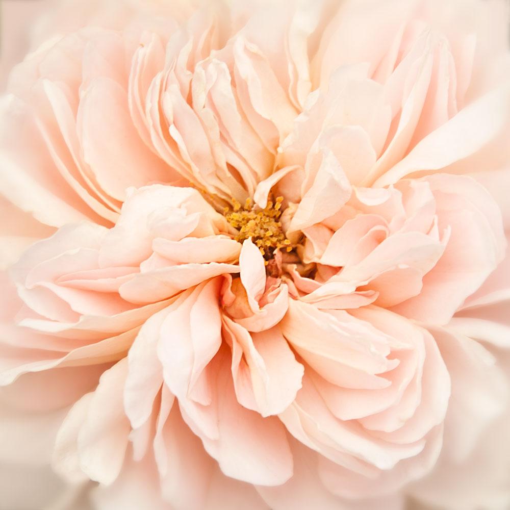 Wonderland-Rose-ll
