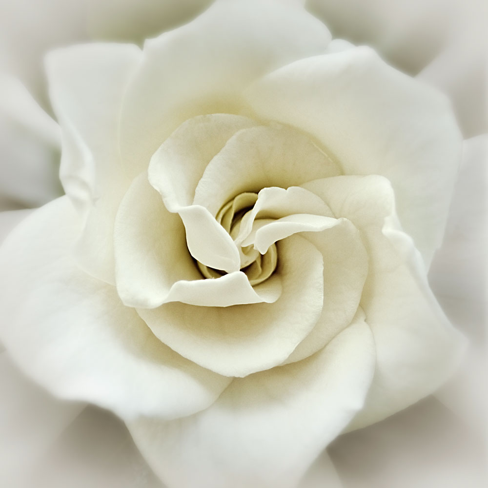 Faded-Gardenia