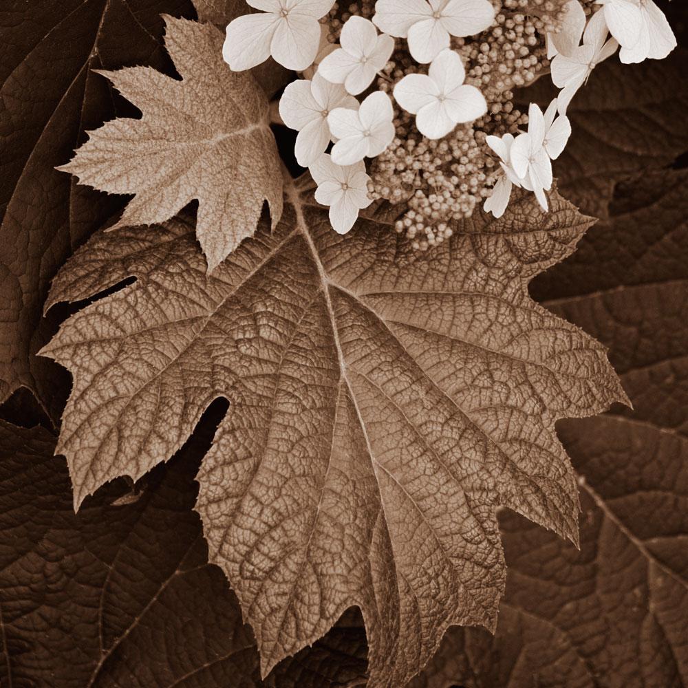 Hydrangea-Leaf 1