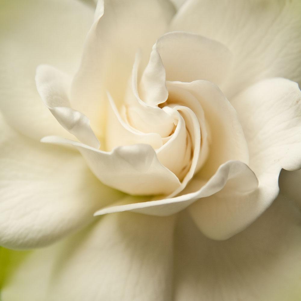Gardenia ll