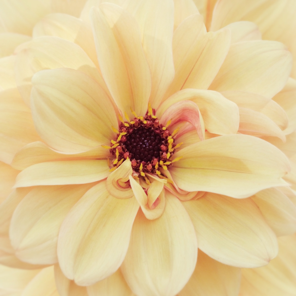 My-Darling-Dahlia