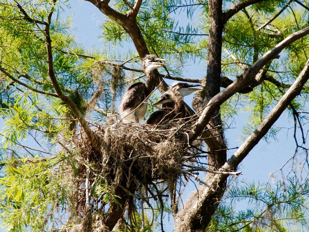 Wildlife abounds: A rare heron's nest discovered this spring on our river.