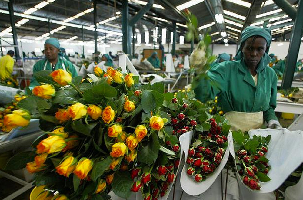 The flower farms in Nakuru County employ approximately 70,000 people 70% of whom are women.