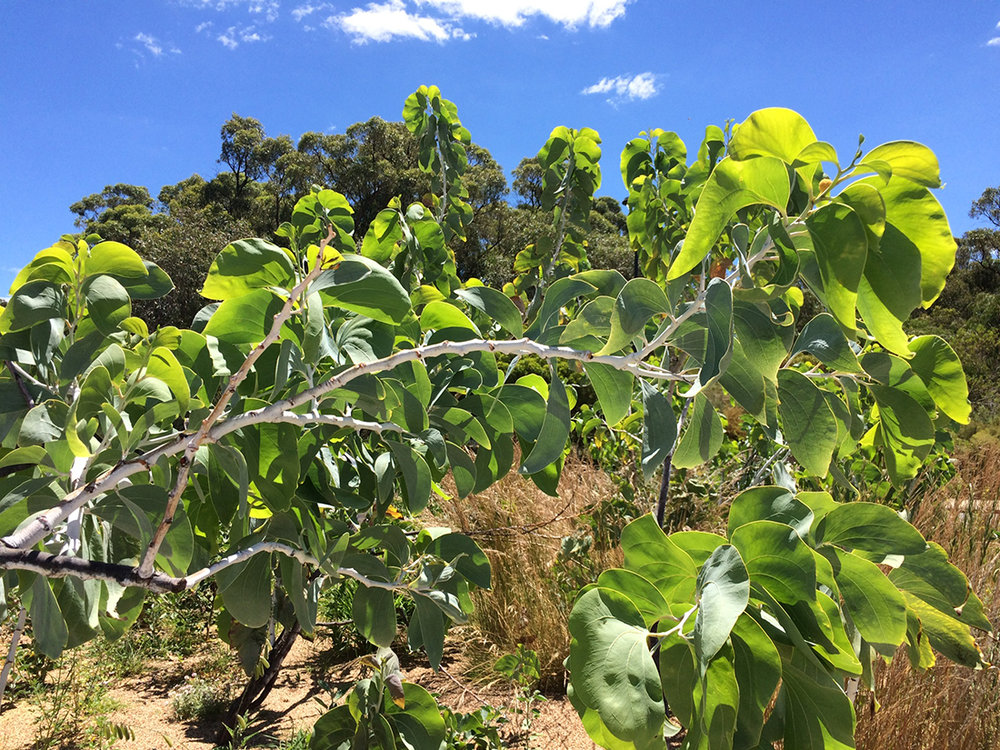 JHS inspiration  (74) - Acacia dunii.jpg