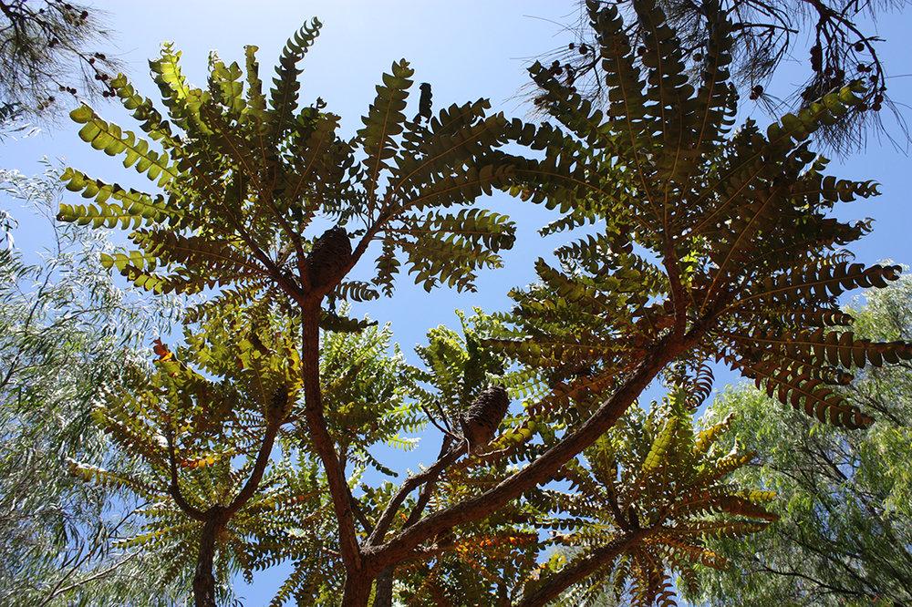 JHS inspiration  (145) - Banksia grandis.jpg
