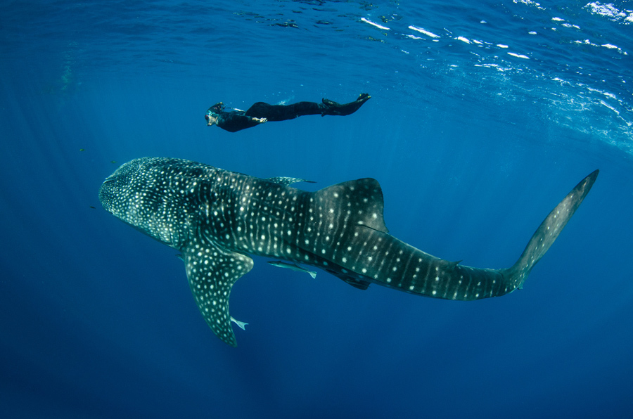 Baja, Mexico - Swim with friendly whale sharks in the Sea of Cortez.