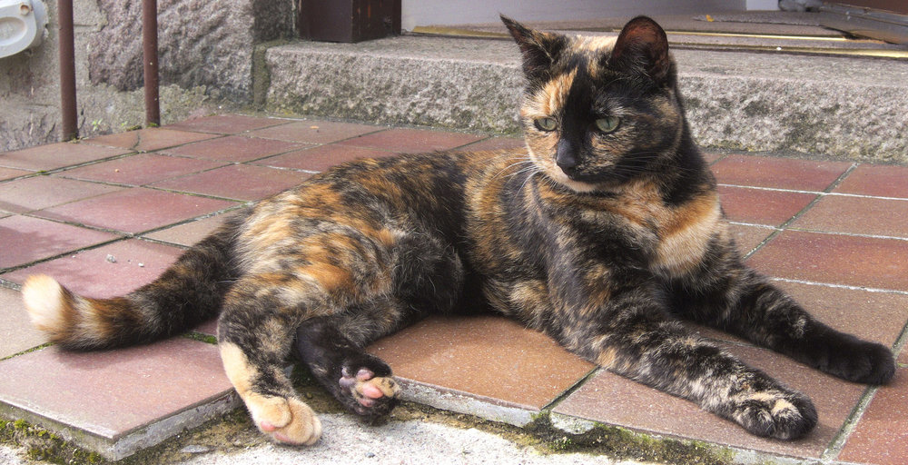 A black and red tortoiseshell.  From The Pingus on Flickr.