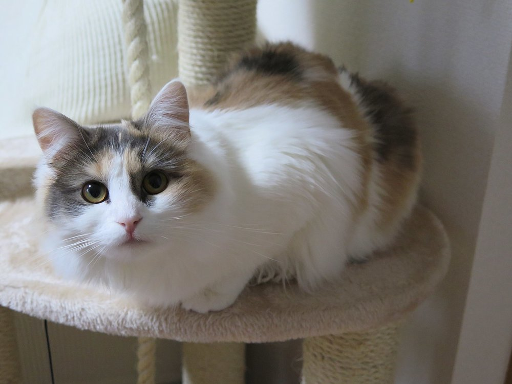 A dilute (blue and cream) calico.  From Douglas Paul Perkins at English Wikipedia.