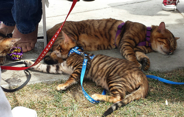 A toyger showing the braided tabby pattern.  From duluoz cats on Flickr.