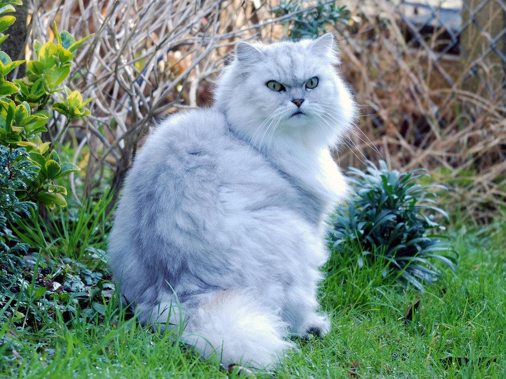 A chinchilla cat.  From allen watkin on Flickr.