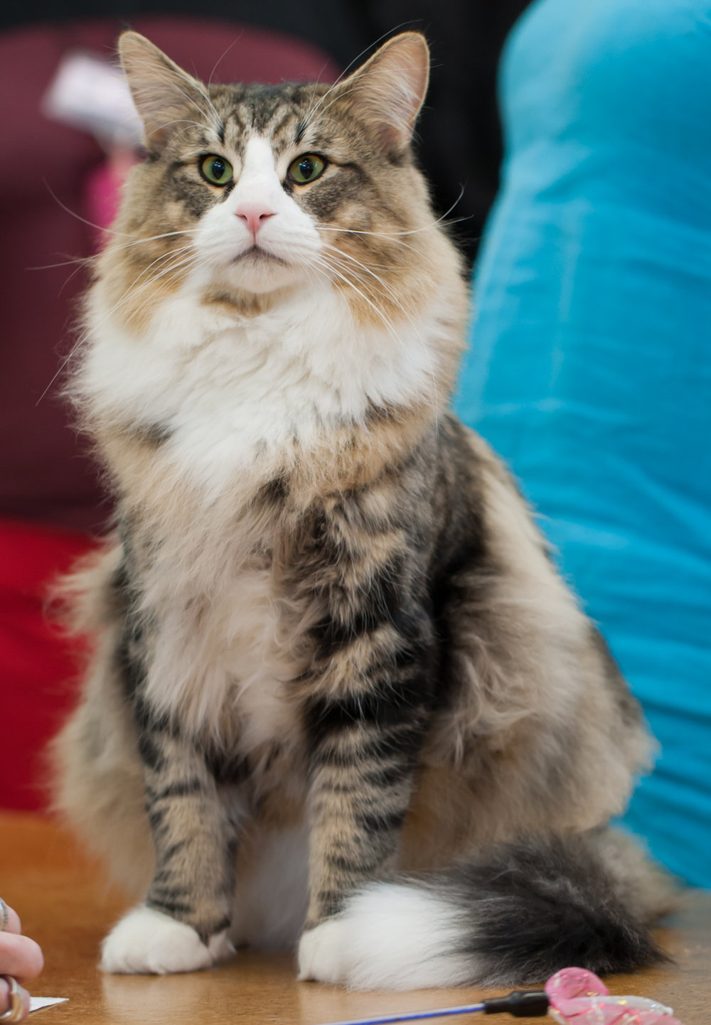 A brown tabby with tuxedo white markings.  From Heikki Siltala at catza.net.