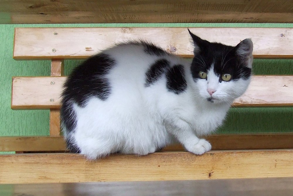 A harlequin black and white kitten.  From B. Proksch via Wikimedia Commons.