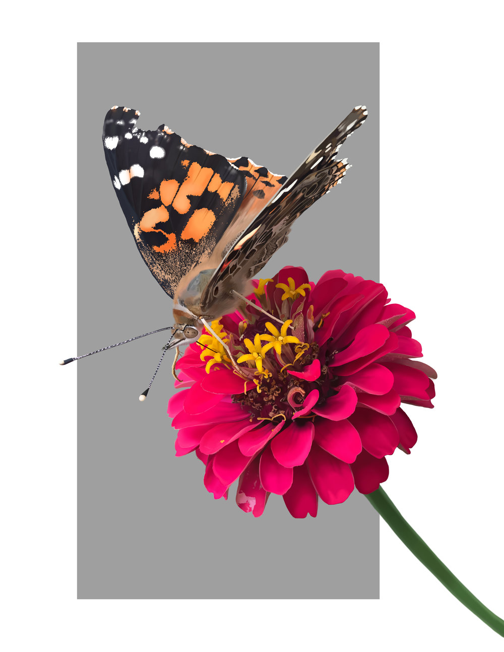 Painted Lady on Zinnia. Digital - Adobe Photoshop. August 2018.