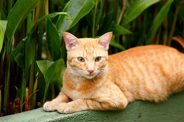 "Red tabby ""Joey"" shows off his not-so-hidden phaeomelanin.  From stratman² (2 many pix!) on Flickr."