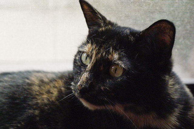 A lovely tortoiseshell gal.  From Taryn on Flickr.