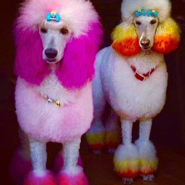 Pride 💜♥️💚💙💛🧡 . .  Photo Source 📸 unknown . . . . . . . . . #dogsofinstagram #love #pride #shopbethegood #tiara #dressup #shopbethegoodcollection #twinning #accessories #ootd #girls #thatsdarling #jotd #thesegoodsdogood #dressforsuccess