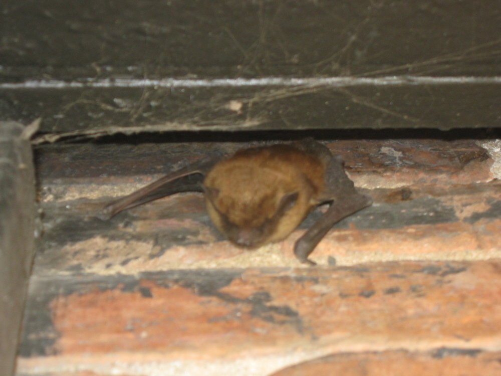 """Bats can fit by 3/8""""x 1"""" wide gaps."""