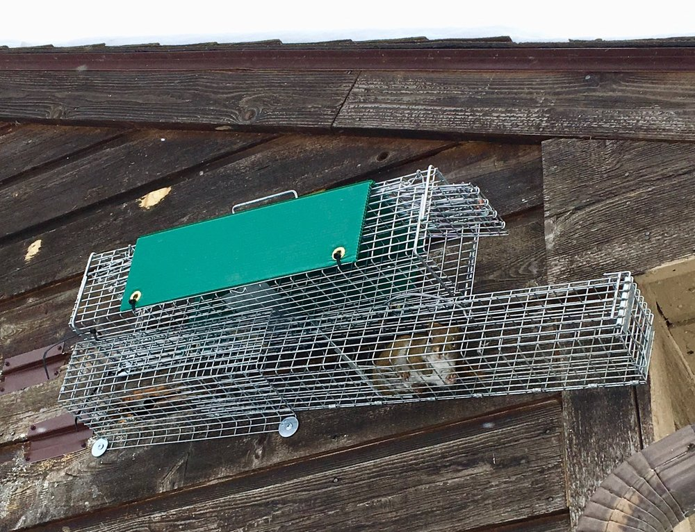 We mount our traps directly over the squirrel entry hole to capture the exact ones doing the damage.