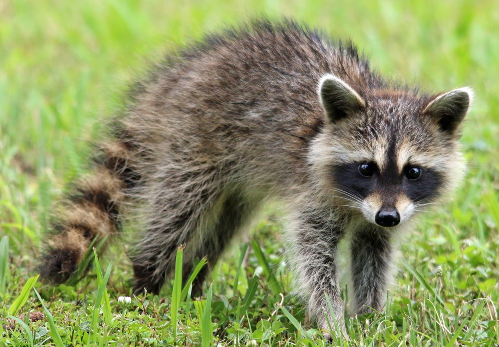 I am hearing heavy walking in my attic mostly in the evening or early morning -  Raccoons