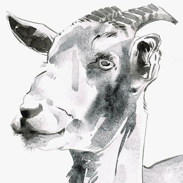 GIVEAWAY! This goat watercolor sketch could be yours. Here's how to win:  1. Follow @april.aldridge.art  2. Tag 3 friends in a comment below  3. That's it! Giveaway closes September 28 at 11:59 PST  Good luck!