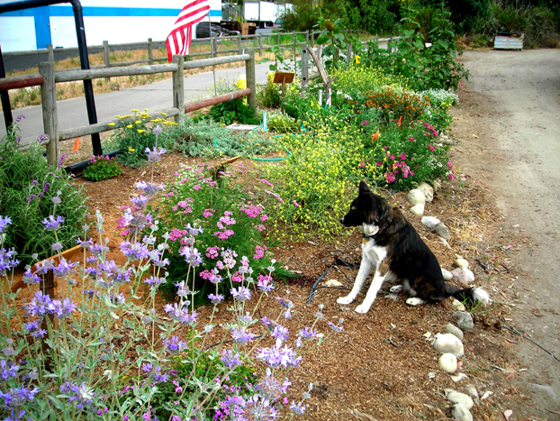 Duchess guarding the B3 Garden against 3 year old girls on tricycles on the bike trail.