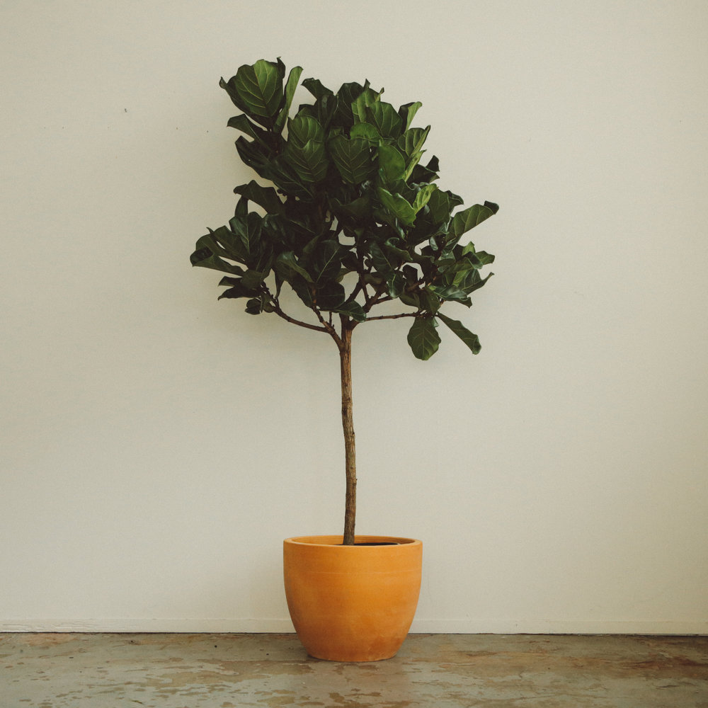 Ai - Fiddle Leaf Fig (Single Stem) -