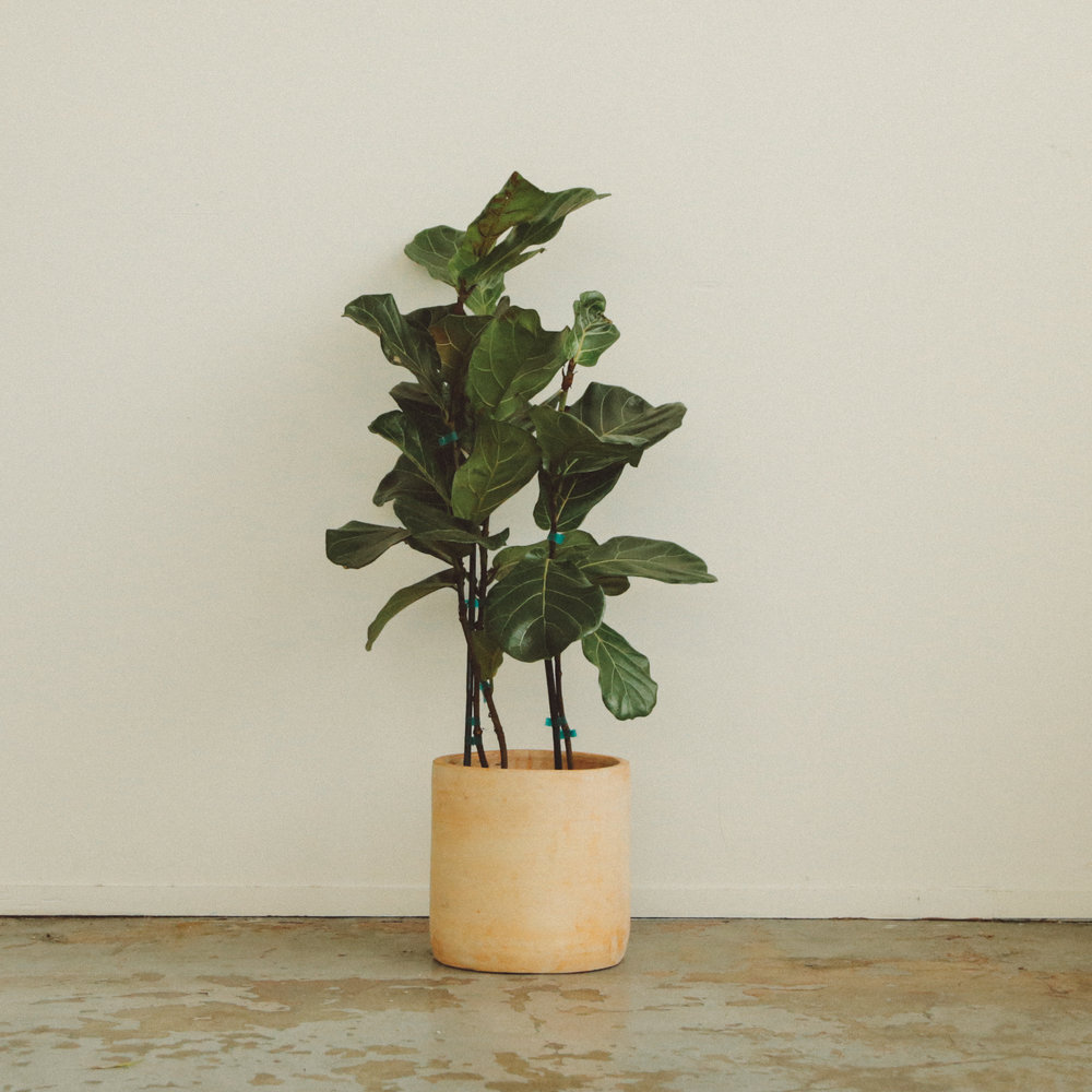 Ai - Fiddle Leaf Fig -