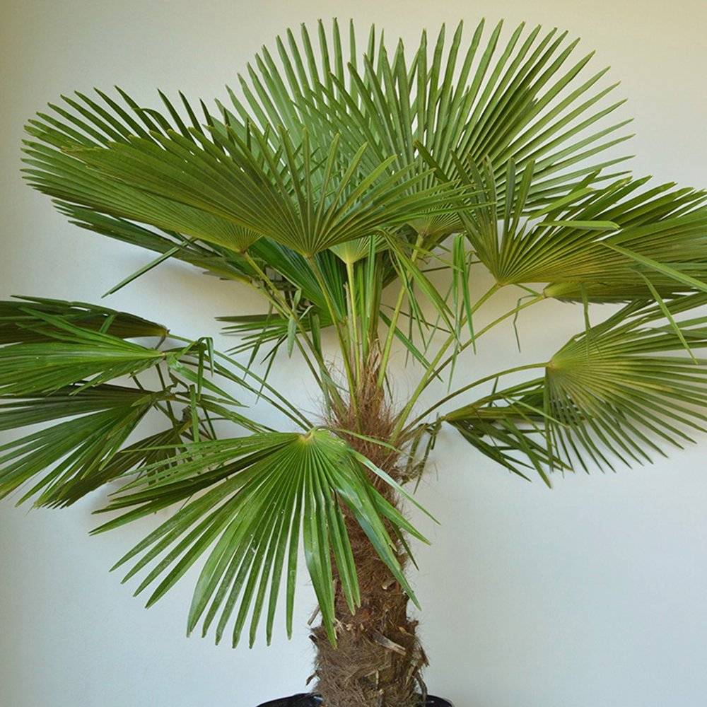 Windmill Palm - Trachycarpus fortunei -