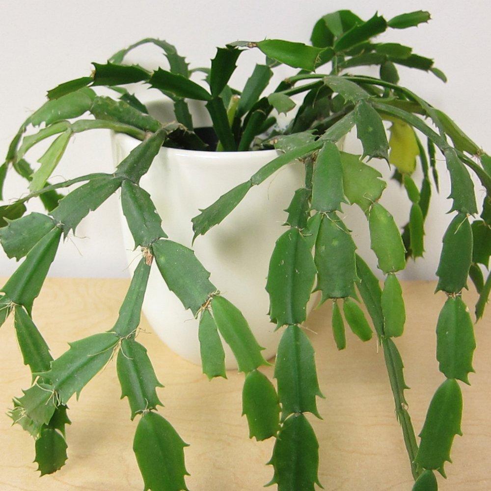 Christmas Cactus - Schlumbergera -