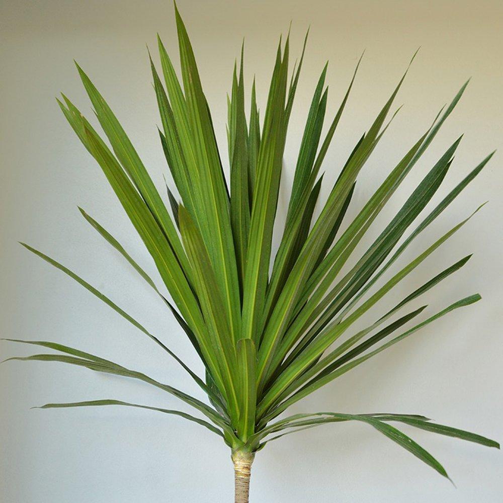Dracena Arborea - Dracaena arborea -