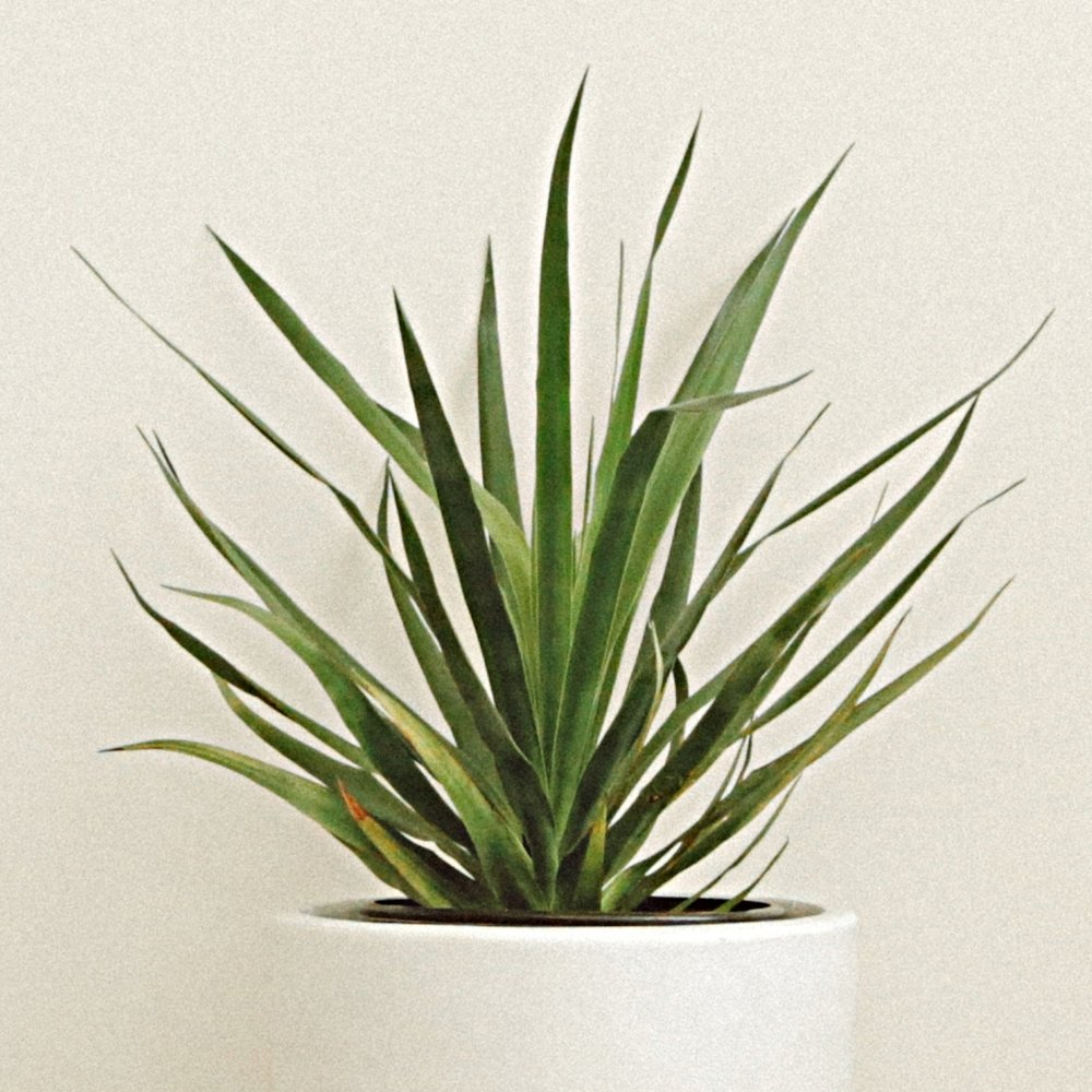 Dragon Tree - Dracaena draco -