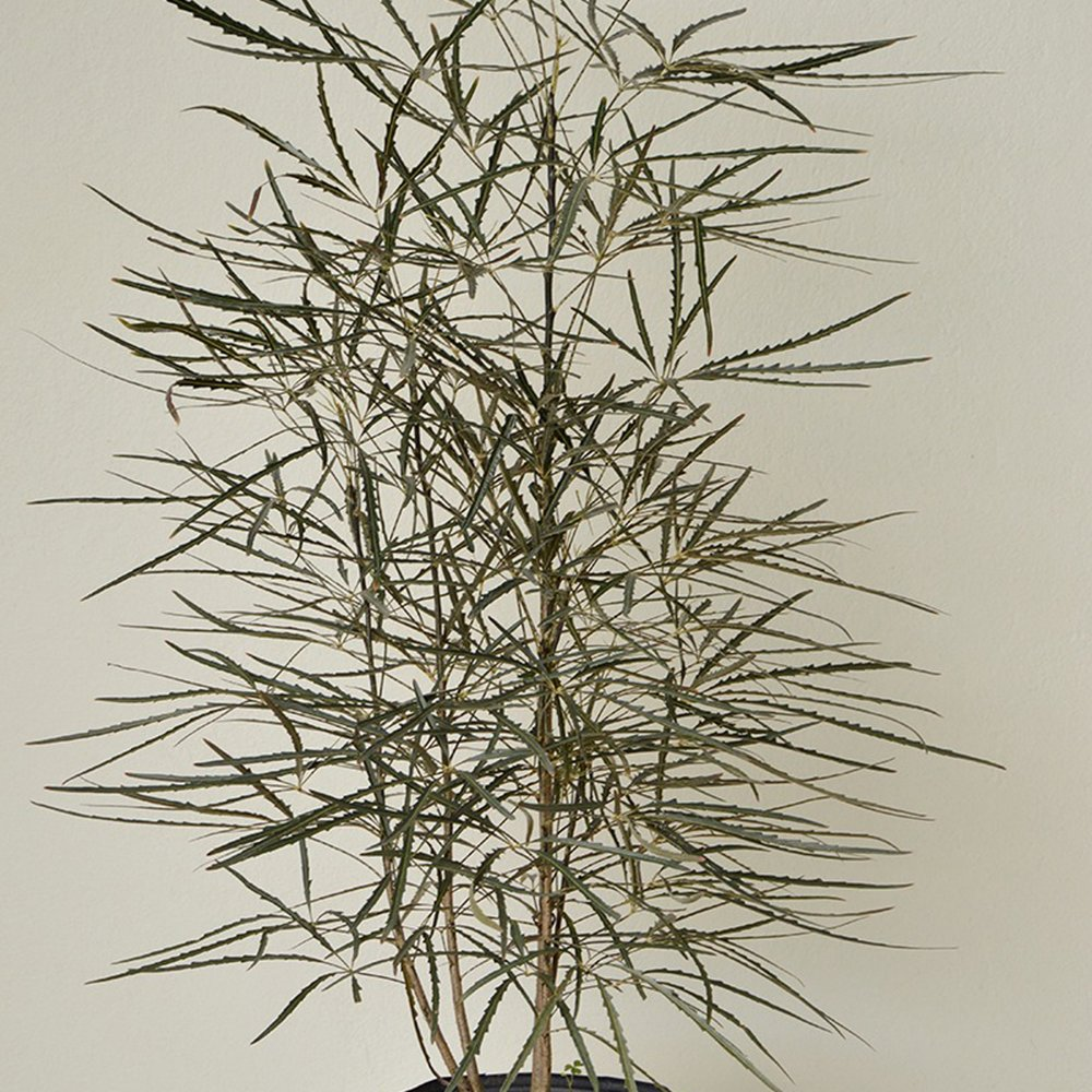 False Aralia - Plerandra elegantissima -