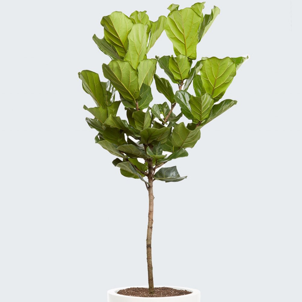 Fiddle Leaf Fig - Ficus lyrata -