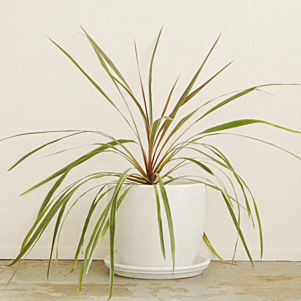 Grass Palm - Cordyline australis albertii -