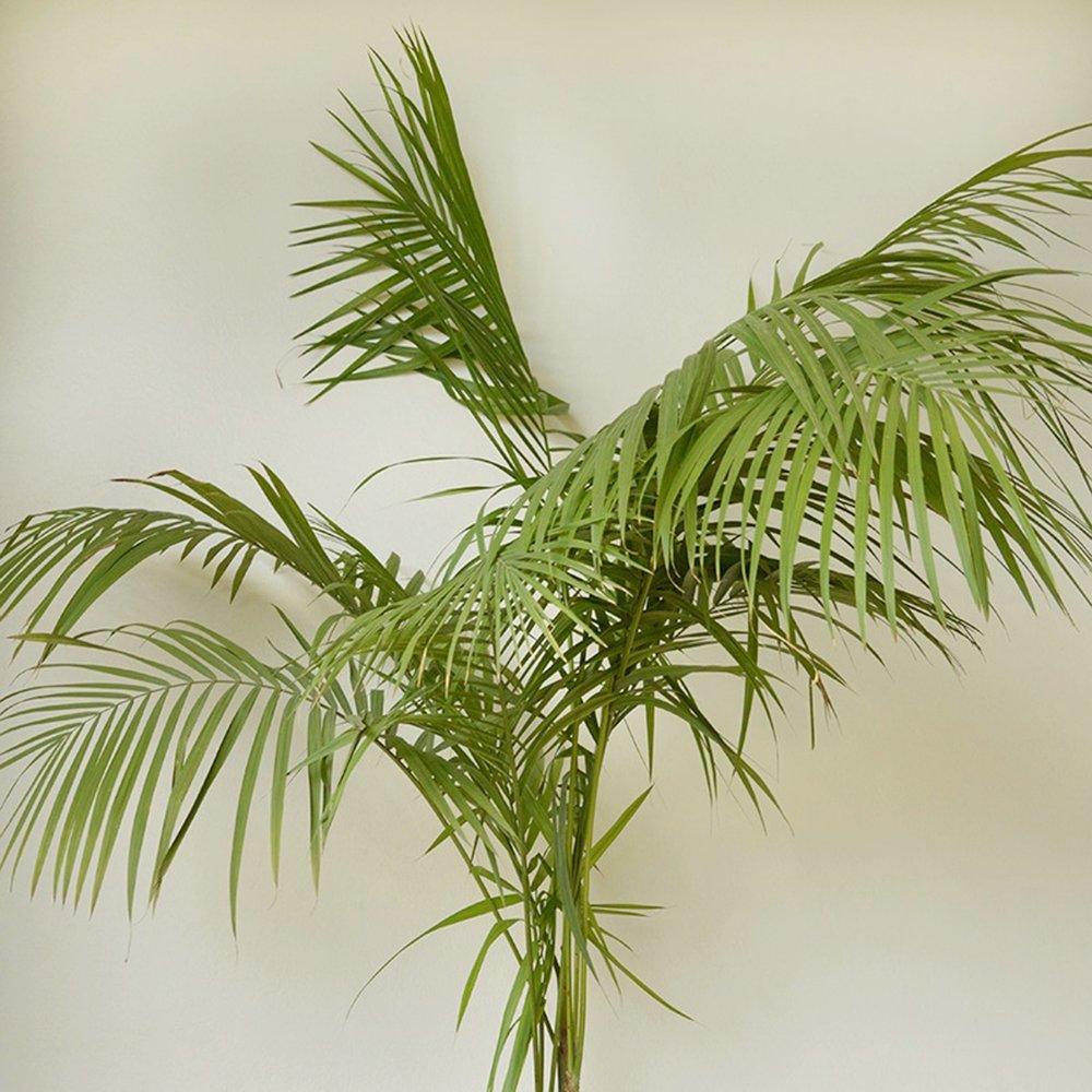 Jucara Palm - Euterpe edulis -