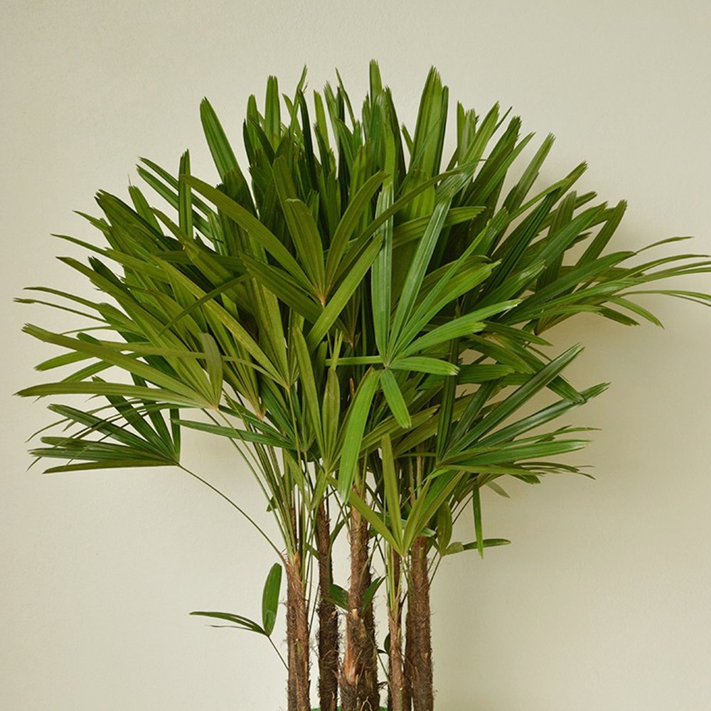 Lady Palm - Rhapis excelsa -