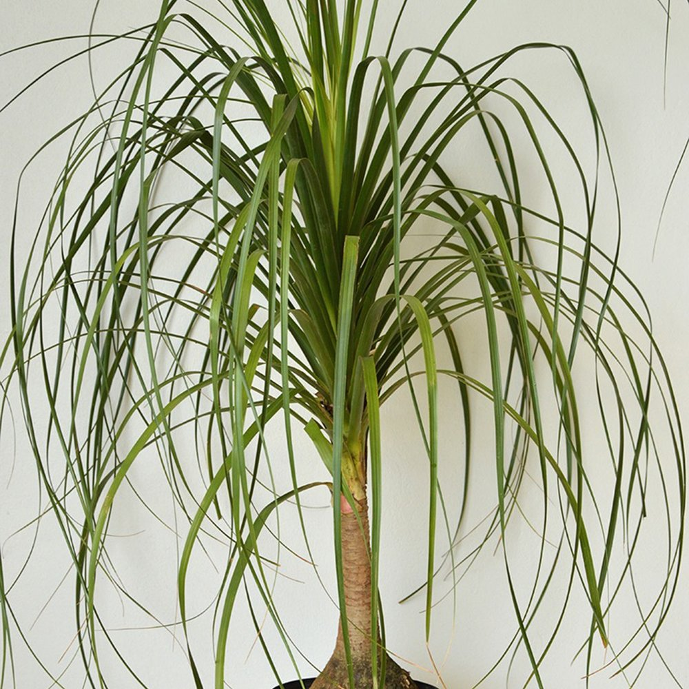 Ponytail Palm - Beaucarnea recurvata -