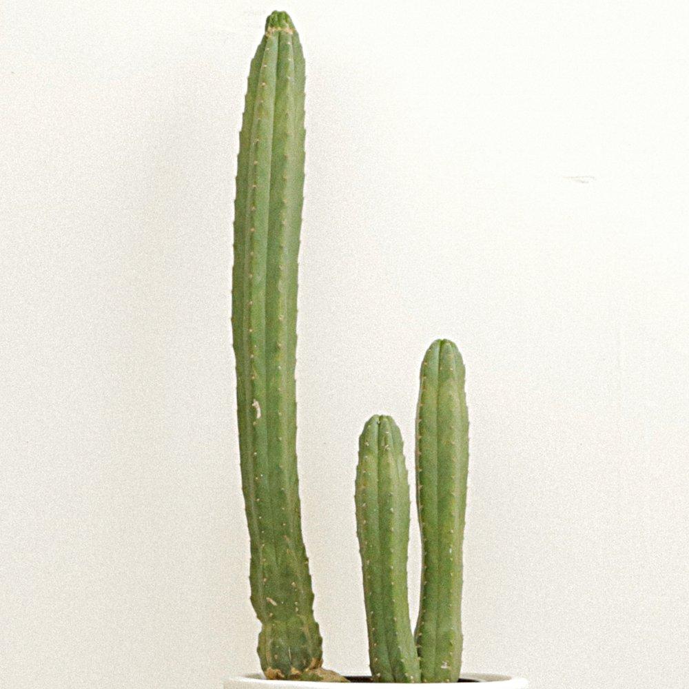 San Pedro Cactus - Echinopsis pachanoi -
