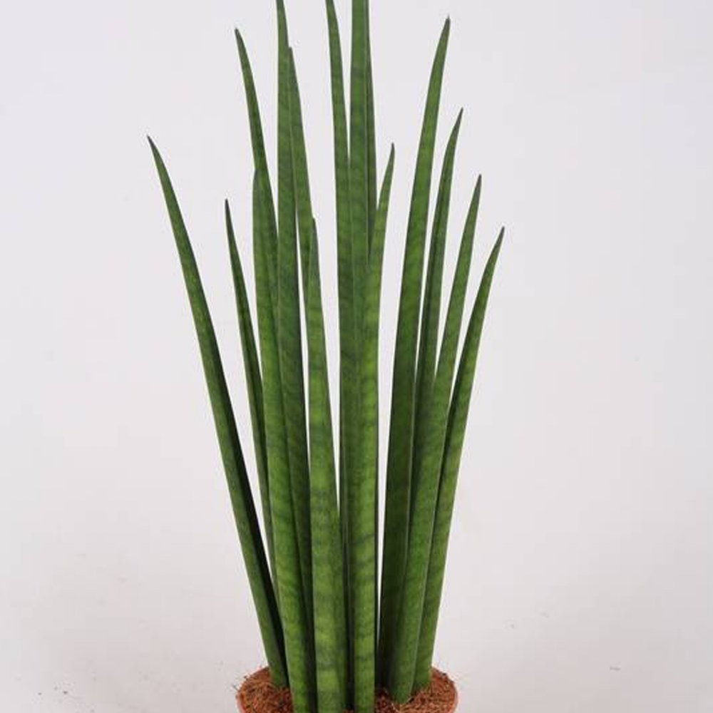 Snake Plant - Sansevieria cylindrica multi -