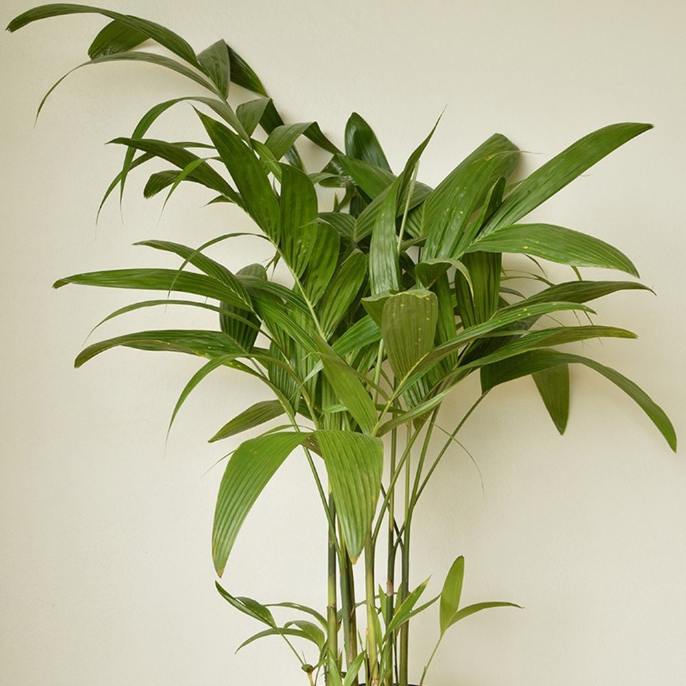 Wild Areca Palm - Areca triandra -