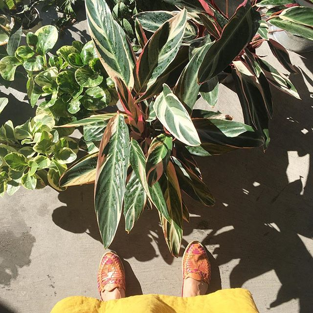 Friends, we're open this afternoon, and we're liquidating our tropical plants to make space for the extended Indian summer. 30% OFF.