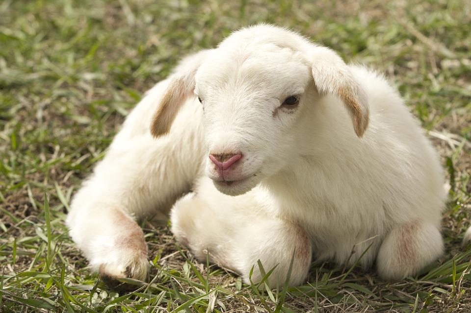 lamb-2216160_960_720.jpg