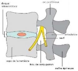 Passage du nerf dans le trou de conjugaison