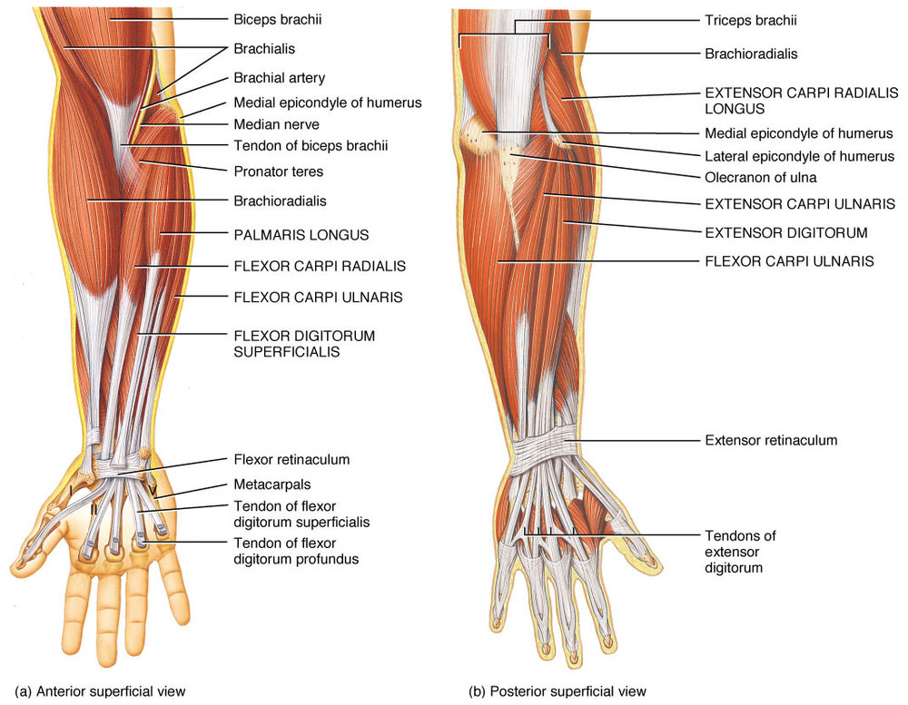 Anatomy Of The Wrist Acro Physical Therapy Fitness