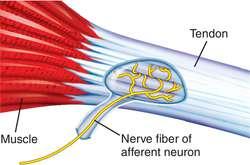 View of the Golgi Tendon Organ (GTO)