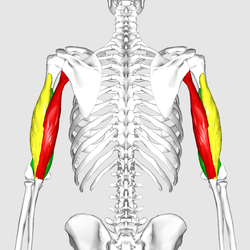 The triceps brachii: The long head is red in this photo - note that it runs from the scapula down to the olecranon of the ulna (forearm)