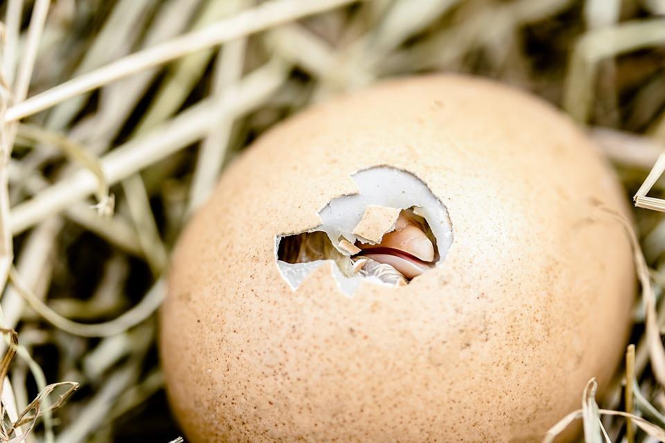 hatching-chicks-2448541_960_720.jpg