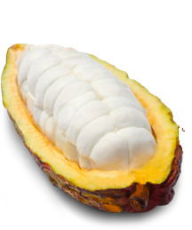 Cacao Fruit Pulp and Cacao Fruit Powders are available in purees, freeze-dried and dehydrated forms.