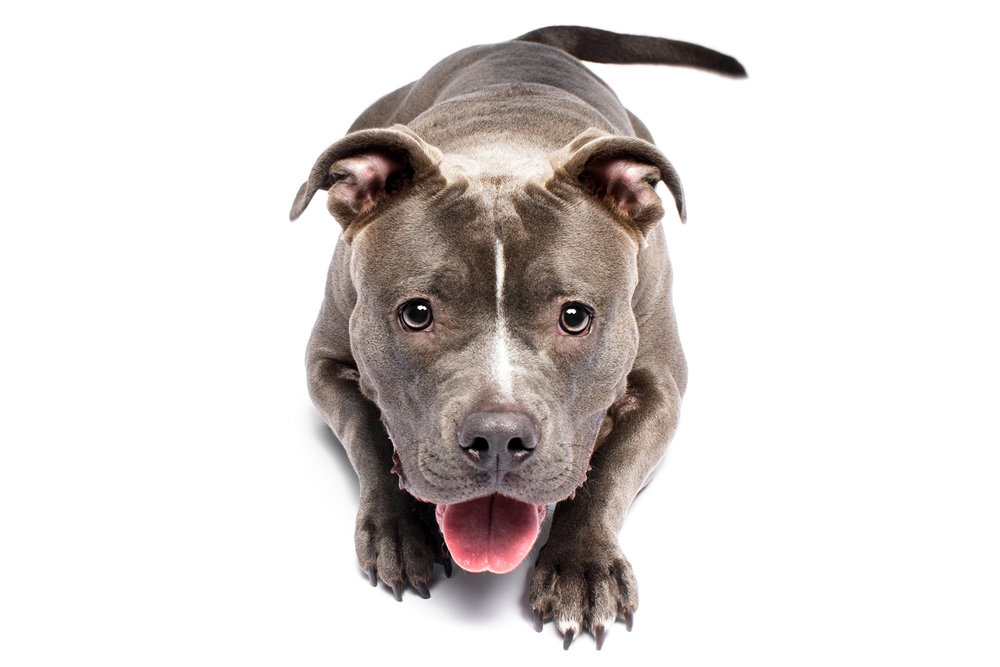 Kali the Blue Nose American Bully/Pitbull Terrier